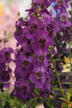Angelonia angustifolia Archangel Dark Purple | Lucas Greenhouses