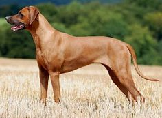 The social and intelligent Rhodesian Ridgeback. #dog #pets #rohodesianridgeback