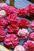 375029 - Camellia (Camellia) in water bowl