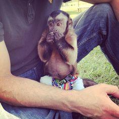 Play with a monkey Cute Baby Monkey, Pet Monkey, Monkey King, Orangutans, Chimpanzee, Capuchin Monkeys, Farm Animals, Cute Animals