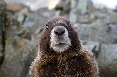 Marmot. Image: http://www.summitpost.org/marmot-on-wheeler/678254
