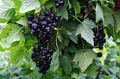 Как омолодить куст чёрной смородины и улучшить урожай