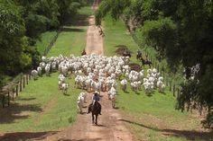 Vacada Nelore Jandaia – Fazenda Kuluene - BrasilcomZ