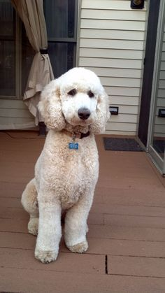 standard poodle Bosley- I love the cut! Simple puppy clip, nothing fancy! #Poodle