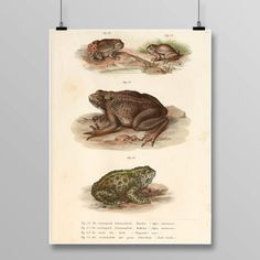 European Green Toad Decor, Frog Wall Art, Antique Frogs and Toads, Vintage Lithograph, Amphibian Decor, Toad print, 389 by STANLEYprintHOUSE 3.00 USD European Green Toad Decor, Frog Wall Art, Antique Frogs and Toads, Vintage Lithograph, Reptile Decor, Toad print, 389 This poster is printed using high quality archival inks, and will be of museum quality. Any of these posters will make a great affordable gift, or tie any room toget .. https://www.etsy.com/ca/listing/470257104/eur..