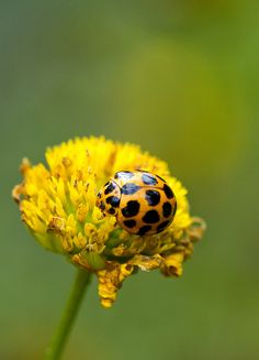 Yellow ladybug - ©/cc Louise Docker (aussiegall) - www.flickr.com/photos/aussiegall/8616477366/in/photostream
