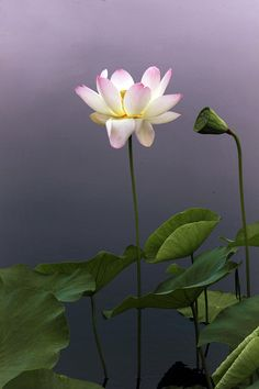 Lotus Ascending Photograph by Jessica Jenney