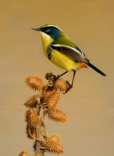 "Many-colored Rush-tyrant (tachuris rubrigastra) ~ A small passerine bird of South America belonging to the tyrant flycatcher family. ~ Miks' Pics ""Fowl Feathered Friends lV"" board @ http://www.pinterest.com/msmgish/fowl-feathered-friends-lv/"