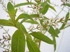 Aloysia triphylla flowers - Hierba Luísa