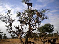 Abadia Aljarafe.: Las cabras trepadoras de árboles de Marruecos