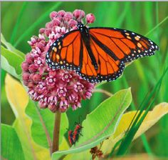 Milkweed Information Sheet (PDF)