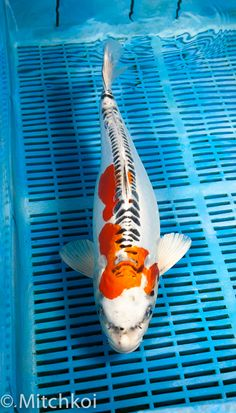 A beautiful Kikokuryu. This Koi has a brilliant metallic lustre, with smooth snowy white base and vibrant orange overlay, finished with neat zip linear scales and pleasing body shape. Size: 43cm (17