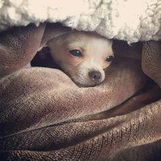 Le beau Sammy (anciennement Sam fils de Gypsy et Sammy) reste couché dans ses couvertes avec maman par grand froid www.machupitouchihuahua.com
