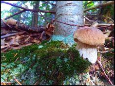 borowik szlachetny - grzyby #grzyby #grzybobranie #mushrooms #las #forest #borowik #borowik #szlachetny #borowiki #boletus #prawdziwek #prawdziwki #runo-leśne #natura #Beskidy #Polska #Poland #grzyby-jadalne #grzyby-w-Polsce #małopolska #grzybiarz #grzyb