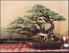 100 Gambar Bonsai Terbaik Pohon Bonsai Bonsai Pohon