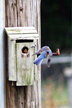 Female Bluebird feeding little one