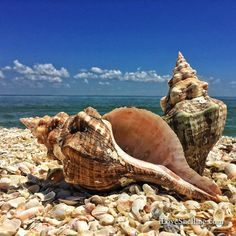 Shellzam! Finding huge empty horse conchs