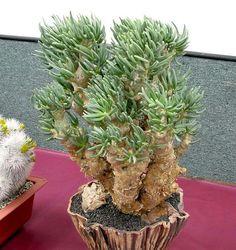 https://flic.kr/p/7DbwoL | Tylecodon wins best succulent