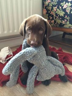 Sweet Chocolate Lab puppy with his cuddly toy