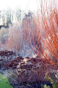Winter Border with Dogwood (Cornus alba) 'Siberica', Grasses and Sedum (Sedum spectabilis), UK