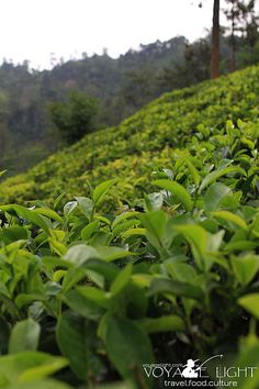 Tea fields Sri Lanka, Fields, Herbs, Ocean, Island, Block Island, Islands, The Ocean, Herb