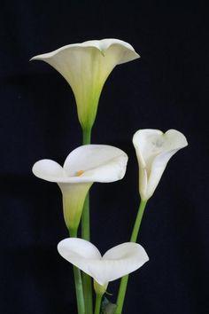 calla lilies, my favorite flower My Flower, Flower Art, Flower Power, Amazing Flowers, White Flowers, Beautiful Flowers, Calla Lillies, Calla Lily, Pictures Of Calla Lilies