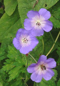 a cluster of geraniums 'Johnson's Blue' at Bryngwyn Gardens