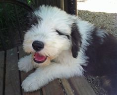 Theo the Old English Sheepdog