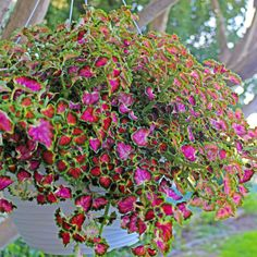 Coleus Great Falls Angel   A Great Item To Brighten Shade Gardens, These  Innovative New