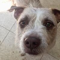 Pictures of George a Cairn Terrier Mix for adoption in Phoenix, AZ who needs a loving home.