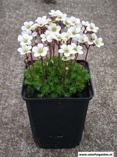 Vaste plant: Saxifraga 'White Pixie' Nederlandse benaming: Steenbreek Saxifraga is in het algemeen zeer geschikt voor de rotstuin, als bodembedekker en voor randen. Zij heeft kleine, ronde blaadjes.