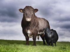 11 year old Swallow from Yorkshire has been named the world s smallest cow, measuring just 33 inches. The tiny cow poses alongside Freddie the Bull for the launch of Guinness World Records 2011 Barnyard Animals, Cute Animals, Animal Fun, Unusual Animals, Cow Names, Small Cow, Miniature Cattle, Mini Cows, Mini Farm