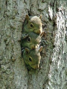Young squirrels peer out of their nest