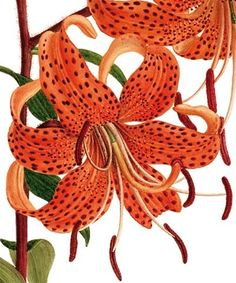 Lily - Natural History Museum greeting card