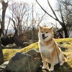 """柴犬, #Shiba Inu <3 ~lisa """"Good morning!! 土曜日おはまる〜*\(^o^)/* あのね、昨日の夜パパが寝ちゃっておやすみ言うの忘れちゃったんだって〜 #疲れてたのかな #今日はまるが起こしたの""""(c)"""