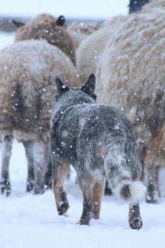Blue heeler herding in the snow. Aussie Cattle Dog, Austrailian Cattle Dog, Cattle Dogs, Herding Dogs, Dog Rules, Mundo Animal, Labrador Retriever Dog, Bull Terrier Dog, Beautiful Dogs