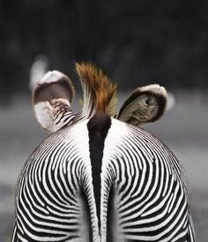 "Photo by William Warby - ""Zebra Rear"". Funny angle on a zebra at Whipsnade Zoo"
