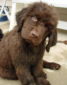 adorable brown Newfoundland puppy She looks like my Rosalynn 😌
