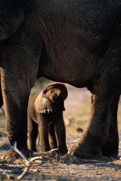 Africa | Juvenile African elephant with parent. Botswana | © National Geographic / Beverly Joubert