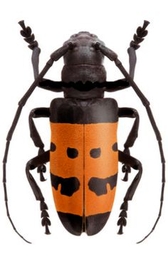 Analeptes trifasciata Beetle Insect, Beetle Bug, Types Of Insects, Bugs And Insects, Longhorn Beetle, Morpho Butterfly, Nature Artists, A Bug's Life, Beautiful Bugs