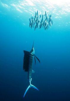 sailfish (Istiophorus albicans) drives sardines to surface Atlantic sailfish (Istiophorus albicans) drives sardines to surface by echeng.Atlantic sailfish (Istiophorus albicans) drives sardines to surface by echeng. Underwater Creatures, Underwater Life, Beautiful Creatures, Animals Beautiful, Fauna Marina, Life Under The Sea, Life Aquatic, Wale, Tier Fotos