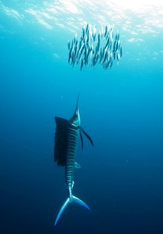 Sailfish Hunt by Eric Cheng