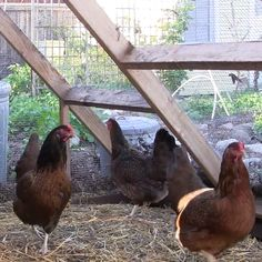 See How One Couple Squeezes An Entire Farm Onto Their Small Los Angeles Property {from growing food and raising chickens, to fermenting, using a passive solar oven and a grey water system, composting, and making bread} Backyard Farming, Chickens Backyard, Backyard Patio, Farm Gardens, Outdoor Gardens, Urban Chickens, Urban Farming, Urban Gardening, Gardening Tips