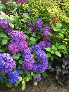 Love all the blooms and picking I get from this hydrangea.