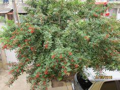 Arueira ( Arvore de Poivre Rose).