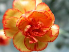 Orange-yellow carnation