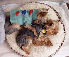 Best buds #yorkies - mine love to sleep like this too!  Sister besties!