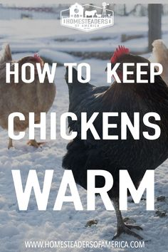 From the moment that you first bring home the newly hatched chicks, the question of how to keep chickens warm will become important. Take a look at the different scenarios involved in keeping them warm throughout the seasons and their life. #homesteading #chickens #backyardchickens #selfsufficiency Keeping Chickens, Raising Chickens, Meat Chickens, Chickens Backyard, Modern Homesteading, Broody, Feed Bags, Chicken Runs, Baby Chicks