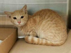 ***UNKNOWN  09/25/16**** ORANGE KITTEN AMORE IS REALLY A LOVE - GOT A SUPER BEGINNER RATING - BUT WILL BE KILLED FOR A COLD! Someone trapped this 6 month old kitten in their residence but didn't want to keep him. AMORE is a super sweet ginger boy and he is wanting to come cuddle and purr with you. The ACC is going to kill him for catching THEIR germs. DON'T LET THAT HAPPEN - EMAIL HELPCATS@URGENTPODR.ORG NOW TO GET RESCUE INFO TO SAVE AMORE'S LIFE!!