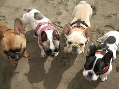 The gang.... French Bulldogs at the Beach
